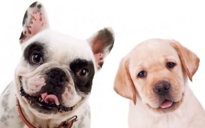 フレンチブルとラブラドールの子犬