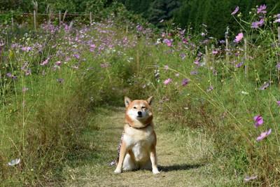 コスモス畑で座る柴犬