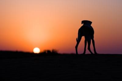 砂漠に立つ犬