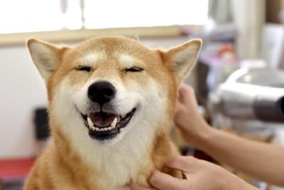 撫でられて気持ちよさそうな顔の柴犬