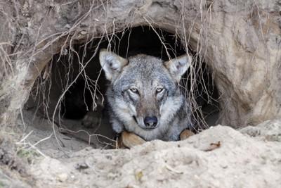 巣穴の中のオオカミ
