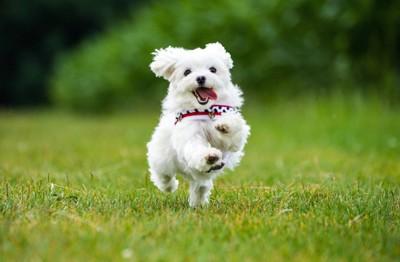 芝生を嬉しそうに走っている犬
