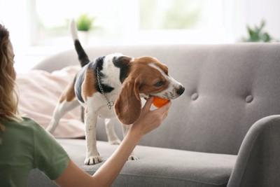 ビーグル犬が咥えたボールを取ろうとする飼い主