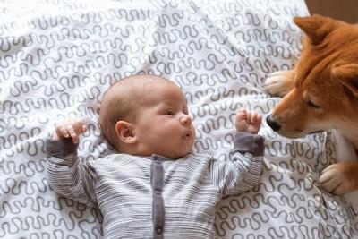 赤ちゃんを見つめている柴犬