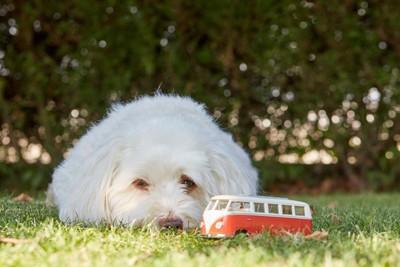 バスのおもちゃを見ている犬