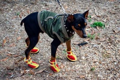 赤と黄色の靴を履いてお散歩する犬