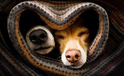 一緒に布団に包まって鼻先を出す2匹の犬