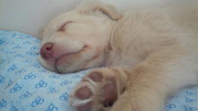 肉球を見せて眠っている子犬