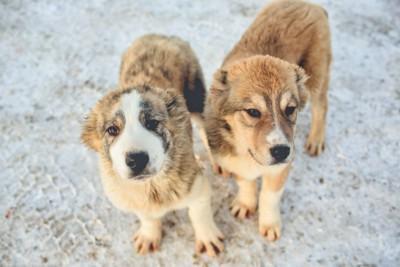 ロシア特有の品種の犬2匹