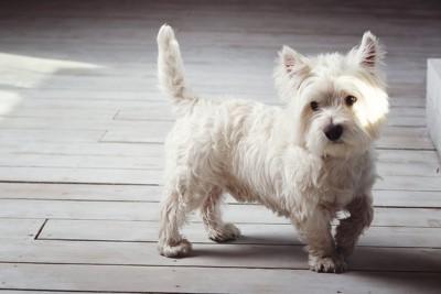 歩いている犬