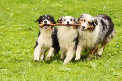 棒を一緒に持つ3匹の犬