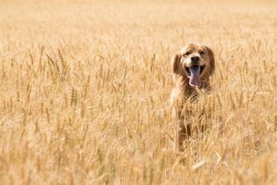 小麦畑の中の犬