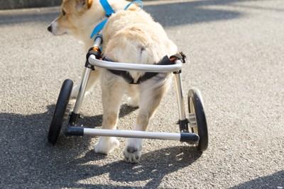 車椅子をつけたコーギーの後ろ姿