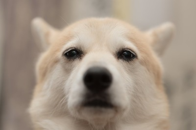 耳を倒し不安そうな表情の犬の顔アップ