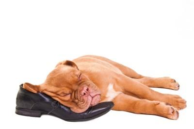 革靴を枕にして眠っている犬