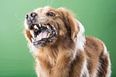口を開けて怒っている犬