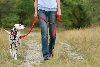 飼い主を見つめながら散歩するダルメシアン