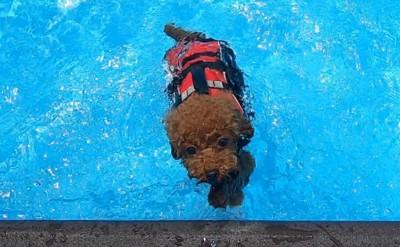 泳ぐ愛犬正面