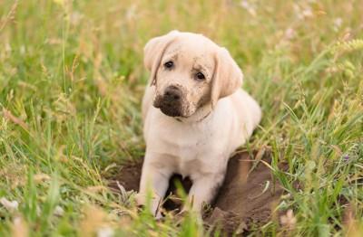 穴掘りをしてマズルが黒くなった子犬