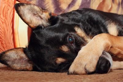 顔に手を乗せる犬