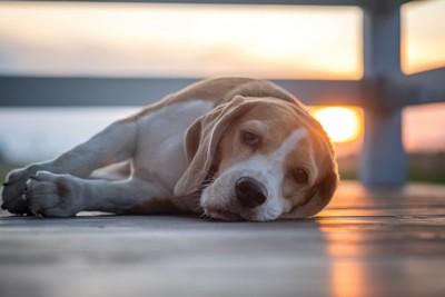 横になって休憩するビーグル犬