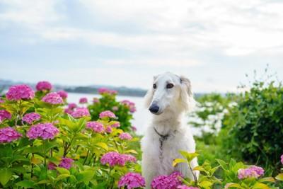 紫陽花の花とボルゾイ