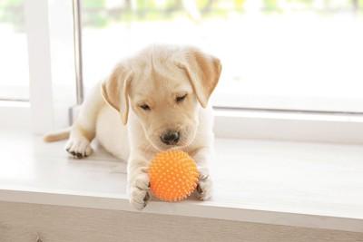 オレンジのボールを手で持つ子犬
