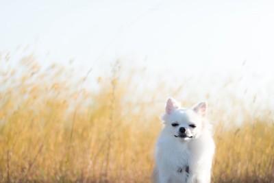 枯れ草の背景で風に吹かれるチワワ