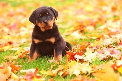 紅葉に囲まれている子犬