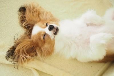 ヘソ天で寝るパピヨン
