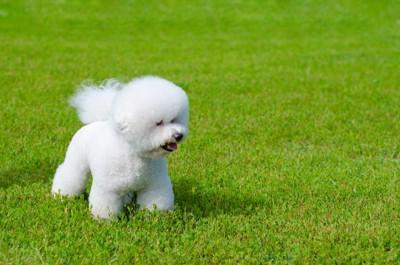 芝生で遊んでいるビションフリーゼ