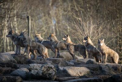 同じ方向を見つめるオオカミの群れ
