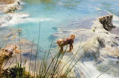 天然の温泉に入る犬