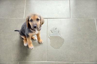 床におしっこをした子犬