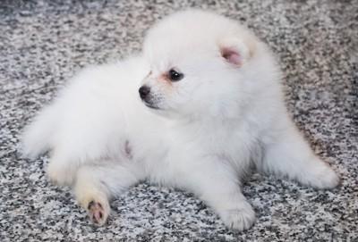 転がっている白いポメラニアンの子犬