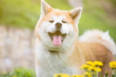 光の中でほほ笑む秋田犬