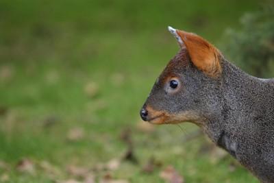 世界最小の鹿プーズー