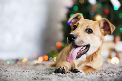 クリスマスツリーの前に伏せる犬