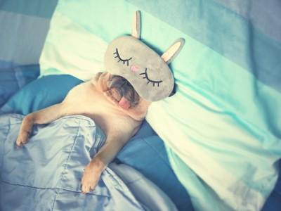 アイピローをつけてベッドで眠る犬