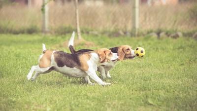 ボールを追いかける二頭のビーグル犬