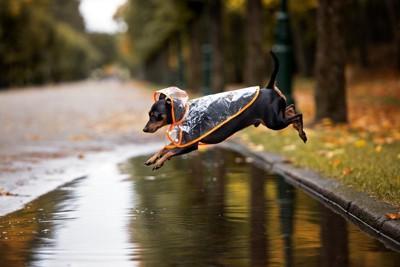 水たまりをジャンプする犬