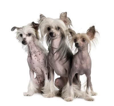 3頭のチャイニーズクレステッドドッグ