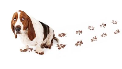 手足に泥がついた犬、白い背景