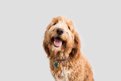 カーリーヘアで垂れ耳の犬