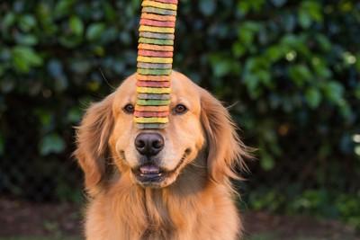 鼻にオヤツを乗せる犬
