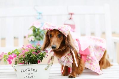 ピンクの服とリボンを付けたダックスフント