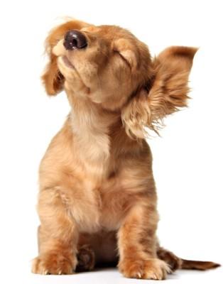 目を閉じて音を聞く犬