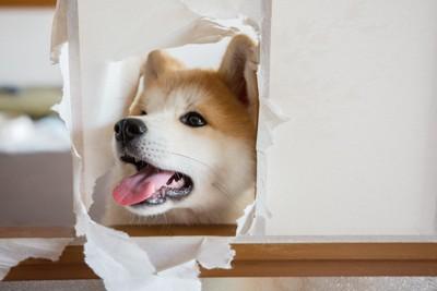 イタズラをする秋田犬