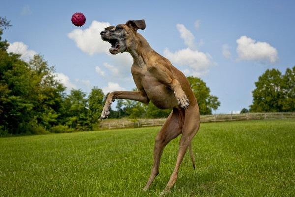 ボールに飛びつくグレートデン