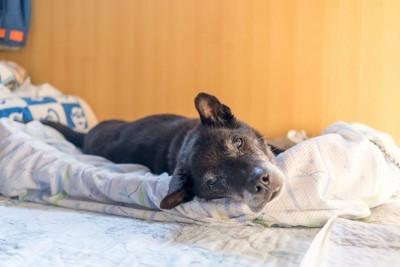 布団の上に横になる黒い老犬